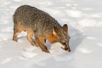 Grey Fox (Urocyon cinereoargenteus) Walks Right With Nose Down Winter
