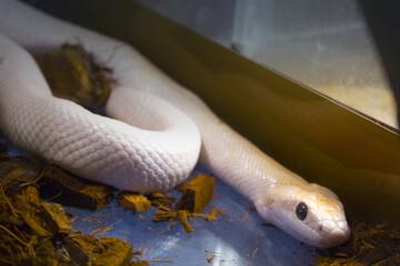 White snake python, terrarium reptile Wall mural