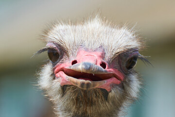 Ostrich with pink beak close-up focusing on ostrich eyes, funny and cute male ostrich