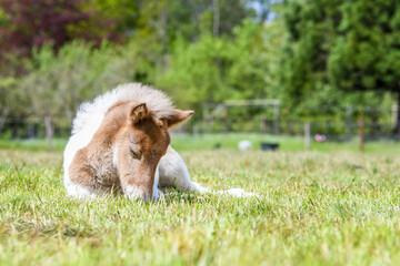 Canvas Prints Horses foal sleeping