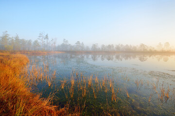 Swampy forest lake in a thick mysterious fog at sunrise. Cenas tirelis, Latvia. Golden sunlight through the evergreen tree trunks. Idyllic autumn landscape. Ecology and ecosystems, environment