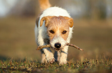 Playful happy walking small jack russell terrier pet dog puppy playing with a stick in the grass