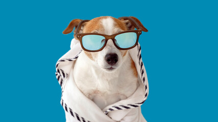 Cute jack russell terrier dog in sunglasses and a bathrobe resting on blue background