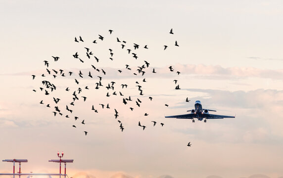 Flock of birds in front of airplane at airport, concept picture about dangerous situations for planes