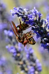 Macro of European hornet (Vespa crabro) eating a honey bee on lavender flower
