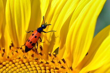 Macro Mylabris quadripunctata on yellow sunflower and seen from above