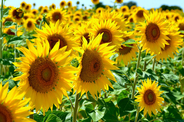 Closeup sunflowers (Helianthus annuus) on the famous Valensole plateau, a commune in the Alpes-de-Haute-Provence department in southeastern France
