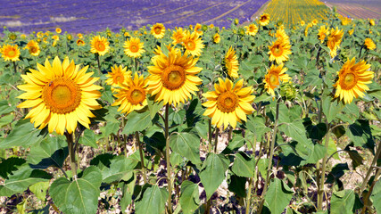 Sunflowers (Helianthus annuus) on the famous Valensole plateau, a commune in the Alpes-de-Haute-Provence department in southeastern France