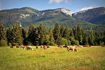 Obraz Krowy pasą się na łące pod Tatrami - fototapety do salonu