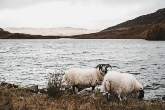 White sheep drinking water from a lake at daytime