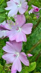 Pink wild mallow or rosa Wildmalve in German