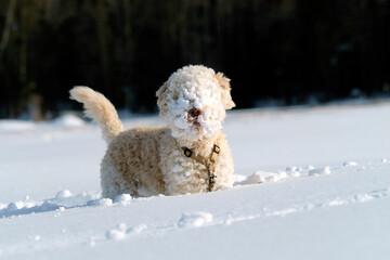 Powder snow face Lagotto Romagnolo