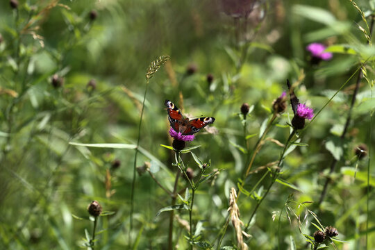 Butterfly sits on a plant at West Woods on the edge of Wiltshire's Marlborough Downs