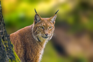 a wild lynx is hiding in the forest