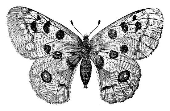 Apollo Butterfly or Parnassius Apollo or Apollo Mountain Apollo, vintage illustration.