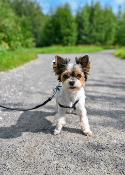 white Biewer Terrier dog with tan and black head coloring standing on walkway against green space background