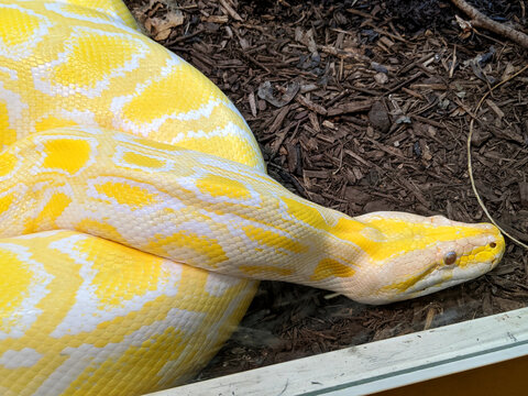 A Yellow Snake Closeup View