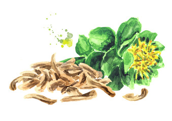 Rhodiola rosea or golden root, rose root, roseroot, medical herb. Hand drawn watercolor illustration isolated on white background