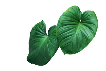 Wall Mural - Heart shaped green leaves of Homalomena plant (Homalomena Rubescens) the tropical foliage houseplant isolated on white background, clipping path included.