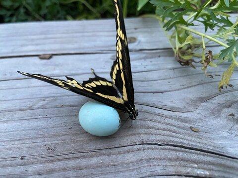 Yellow Butterfly Beside a Bird Egg