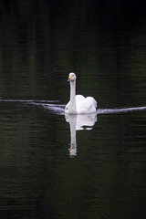 Weisser Schwan auf einem Teich mit Spiegelung