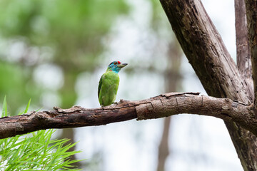 Blue-throated barbet bird (Megalaima asiatica) in deep forest, Thailand.