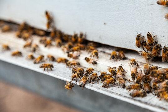 Bees at entrance to bee hive box