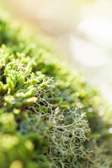 Green sunlit lichen growing in moss on rock