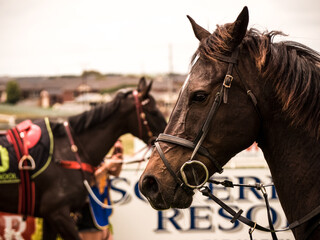 Close up of race horse and bridle at the race track.