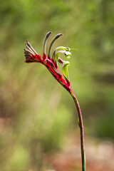 Green & red kangaroo paw flower up close with blurry background