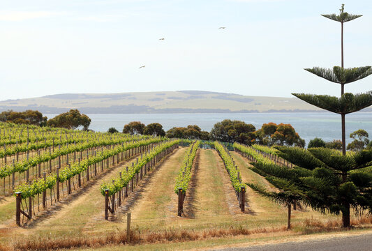 Vineyard by the sea