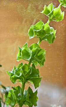 This is a green stalk of a Bells of Ireland plant, otherwise known as Molucca balmis or Shellflower, against a window with reflection.