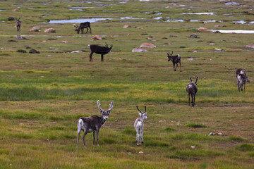 Reindeers are grazed in the marshy tundra, Finnmark, Northern Norway. Selective focus.