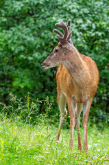 Young buck with antlers in forest