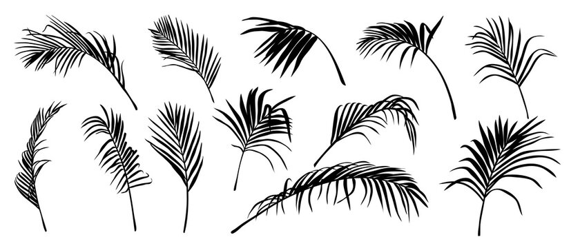 Palm Leaves vector. Shadow of Tropical coconut leaf, Summer exotic flora Isolated on White Background. Vector illustration.