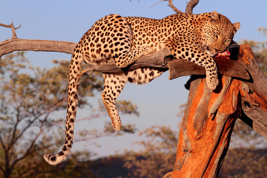 A Leopard in a tree eating meat