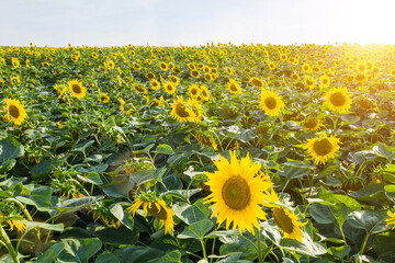 agriculture theme farmer harvest organic field. Horizontal Photo of sunflowers field. Sustainable agriculture. beautiful blooming yellow flowers Helianthus plants mid-summer time