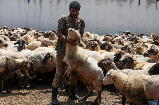 A worker holds a sheep at Hatem Abulashra's livestock farm ahead of Eid al-Adha celebrations in Tripoli