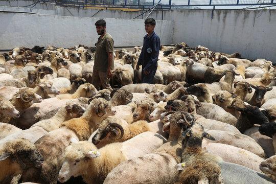Sheep are gathered at Hatem Abulashra's livestock farm for sale ahead of Eid al-Adha celebrations in Tripoli