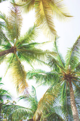 Detail of coconut trees with soft light background or vintage style.