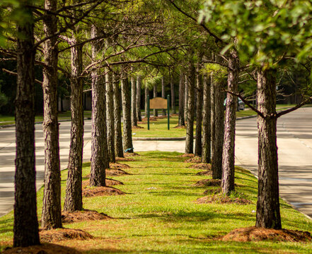 Symmetric row of trees in center median at the entrance of a neighborhood in Conroe, TX.