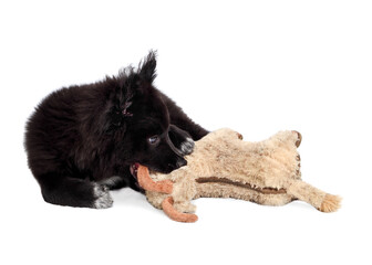 Fluffy black puppy chewing on dog toy, lying sideways. 12 week old male dog. Full body dog portrait of Australian Shepherd x Keeshond. Concept for puppy playtime or teething. Isolated on white.