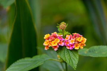 Lantana camara (common lantana) pink and yellow flower
