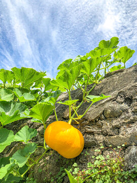 Pumpkin growth over a stone wall