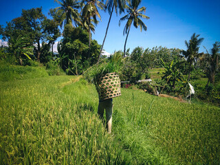 Farmer Carrying Grass Basket In The Rice Fields Of Agricultural Land At The Village, Ringdikit, North Bali, Indonesia