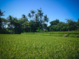 Natural Beauty Green Scenery Of The Rice Fields Of Agricultural Land At The Village, Ringdikit, North Bali, Indonesia