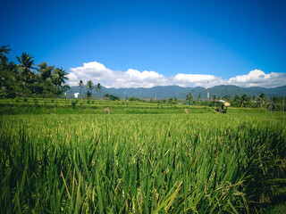 Natural Green Sunny Day Scenery Of The Rice Fields Of Agricultural Land At The Village, Ringdikit, North Bali, Indonesia