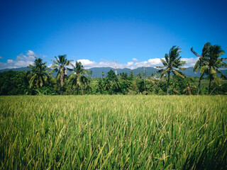 Rural Green Scenery Of The Rice Fields Of Agricultural Land At The Village, Ringdikit, North Bali, Indonesia