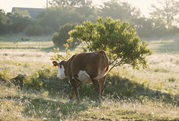Wall Mural - Hereford cow walking in summer pasture looking away over field of green grass on beef farm.