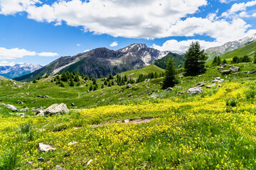 Beautiful alpine landscape at Col de Vars during summer with yellow flowers in the foreground, France